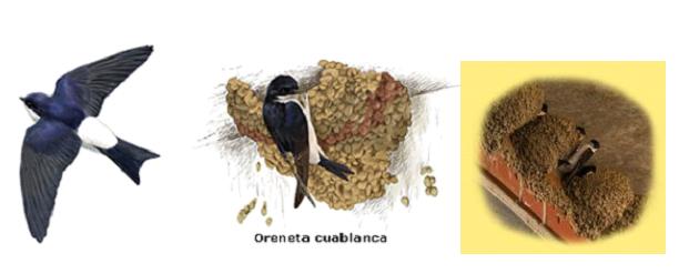 Campanya d'identificació de nius d'oreneta a Olèrdola