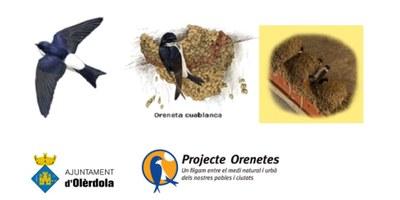Campanya permanent d'identificació de nius d'oreneta a Olèrdola