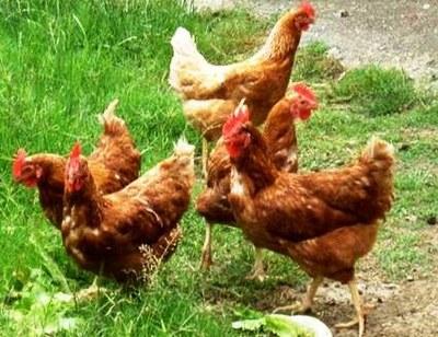 Convocada sessió informativa sobre la instal·lació d'una granja de gallines ecològiques