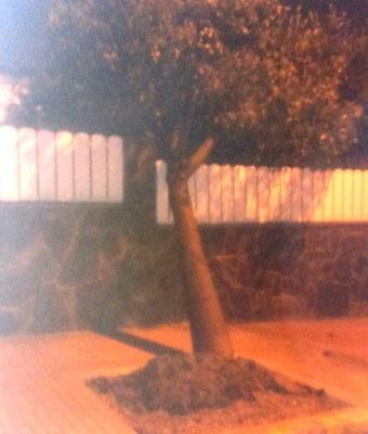 Arbre caigut al carrer Sindicat de Moja pel fort vent