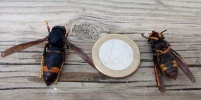 Es detecta la presència de la vespa asiàtica en apiaris particulars d'Olèrdola